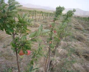 Klimaneutral leben durch neue Obstbäume in Afghanistan