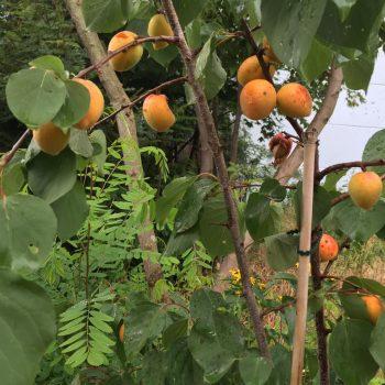 Aprikosen zu pflanzen war eine gute Entscheidung.
