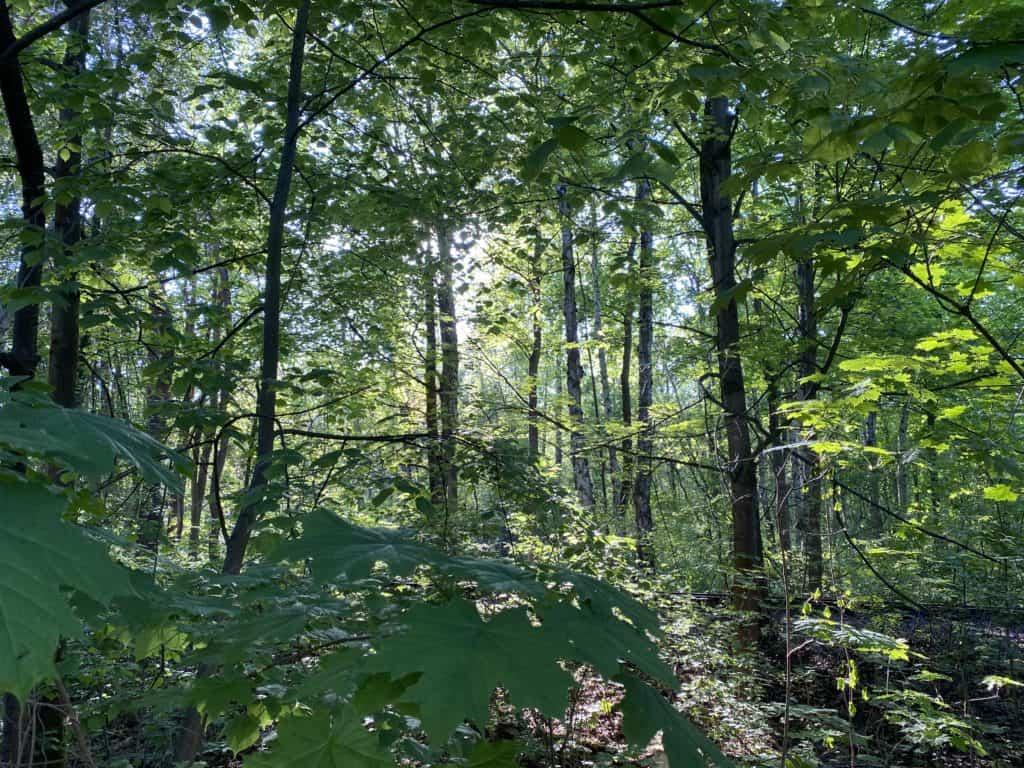 Wald voll Licht,